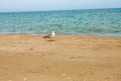 Adriatic Sea coast view. Seashore of Italy, summer sandy beach and seagull. Stock Image