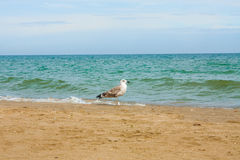 Adriatic Sea coast view. Seashore of Italy, summer sandy beach and seagull. Royalty Free Stock Images