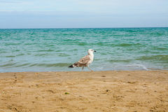 Adriatic Sea coast view. Seashore of Italy, summer sandy beach and seagull. Royalty Free Stock Photography
