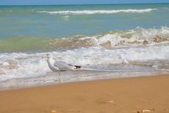 Adriatic Sea coast view. Seashore of Italy, summer sandy beach and seagull. Stock Image