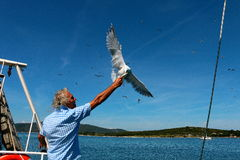 Adriatic sea, Crroatia, captain and a seagull. Captain feedsa fish to a seagull from his hand Royalty Free Stock Images