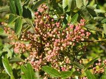 Adriatische plantkunde 3 Royalty-vrije Stock Fotografie