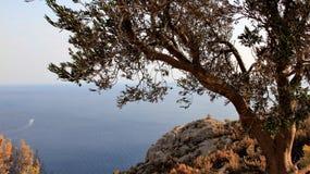 Adriatische Seeküste mit Olivenbaum in Kroatien Lizenzfreies Stockfoto