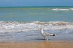 Adriatische Seeküstenansicht Küste von Italien, von sandigem Strand des Sommers und von Seemöwe Stockfotografie