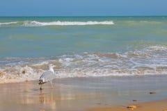 Adriatische Seeküstenansicht Küste von Italien, von sandigem Strand des Sommers und von Seemöwe Lizenzfreie Stockfotografie