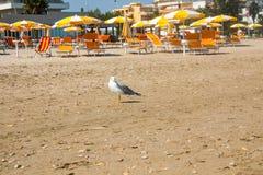 Adriatische Seeküstenansicht Küste von Italien, Sommerregenschirme auf sandigem Strand und Seemöwe Stockbilder