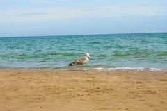 Adriatische Seeküstenansicht Küste von Italien, von sandigem Strand des Sommers und von Seemöwe Lizenzfreie Stockfotos