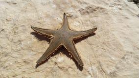 Adriatisches Meer der erstaunlichen Starfish Lizenzfreies Stockfoto