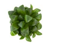 Adromischus alveolatus plant Stock Image