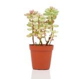 Adromischus-Houseplant Lizenzfreies Stockbild