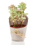 Adromischus-Houseplant Lizenzfreies Stockfoto