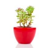 Adromischus-Houseplant im roten Topf Lizenzfreie Stockfotografie