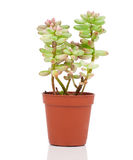 Adromischus houseplant Royalty Free Stock Images