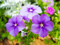 Adscendens de Ludwigia, flor Imagen de archivo libre de regalías