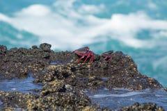 Adscensionis de Grapsus de los cangrejos de roca atlánticos en rocas mojadas Fotos de archivo libres de regalías