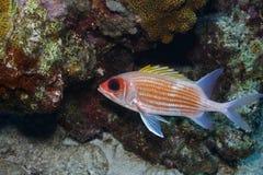 adscensionis holocentrus金鳞鱼 库存照片