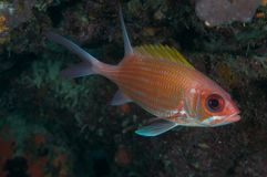 Adscensionis squirrelfish-Holocentrus Royalty-vrije Stock Foto's