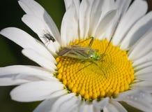 Adspersus del Lygus y flor de la margarita Imágenes de archivo libres de regalías
