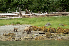 Aduilt Grizzly in nature, walking and searching fo. R food Stock Photo