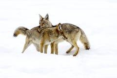 Adulazione del coyote Fotografia Stock Libera da Diritti
