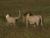 Adulazione del leone Fotografie Stock Libere da Diritti