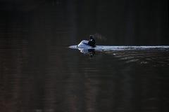 Adulazione del maschio della bucephala che visualizza nelle prime ore del mattino Fotografia Stock