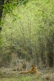 Adulazione delle tigri Fotografia Stock Libera da Diritti