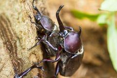 Adulazione dello scarabeo Fotografie Stock