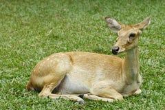 Adule los ciervos Foto de archivo libre de regalías