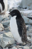 Adult Adelie penguin, which molt. Adult Adelie penguin, which begins to molt Stock Images