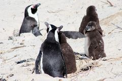 Several African Penguins. Adult and adolescent Jackass penguins on Boulders Beach in South Africa Stock Photos