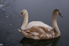 Adult and adolescent mute swan Royalty Free Stock Images