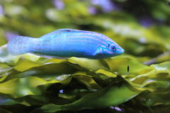 Adorned wrasse Stock Image