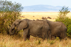 Adult african bush elephants grazing in African savanna Royalty Free Stock Image