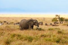 Adult african bush elephants grazing in African savanna Royalty Free Stock Photo