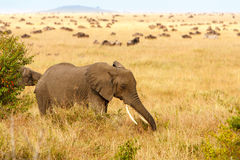 Adult african bush elephants grazing in African savanna Royalty Free Stock Photos