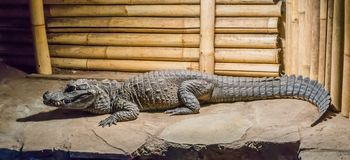 Adult african dwarf or bony crocodile sitting on a rock dangerous wildlife animal portrait. A Adult african dwarf or bony crocodile sitting on a rock dangerous stock images