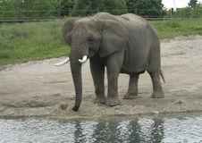 Adult African Elephant feeding by the water Stock Photo