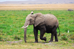 Adult African elephant in the swamp Stock Image