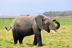 Adult African elephant in the swamp Royalty Free Stock Photography