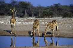 Adult African giraffes Royalty Free Stock Images