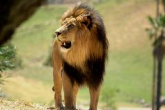 Adult African Male Lion. Full body shot of adult african male lion showing his teeth Stock Photos