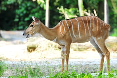 Adult African nyala in its habitat Stock Image