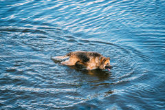 Adult Alsatian Wolf Dog, Running In Blue Water Of River Lake Stock Photography
