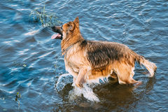 Adult Alsatian Wolf Dog, Running In Blue Water Of River Lake Royalty Free Stock Photos