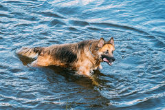 Adult Alsatian Wolf Dog, Running In Blue Water Of River Lake Wit Stock Photo