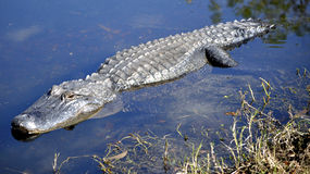 Adult American Alligator Stalking in Water. This is a picture of an American Alligator stalking prey in water Royalty Free Stock Photo
