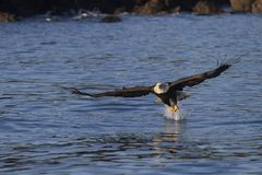American Bald Eagle in Homer stock images