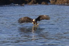 American Bald Eagle in Homer royalty free stock image