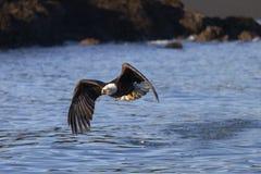 American Bald Eagle in Homer stock photo